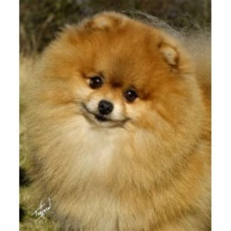 pomeranian rescue uk pomeranian breeders in the uk freedoglistings uk
