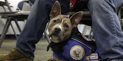 can pitbulls be service dogs rescue pit bulls act as service dogs for in need fight against stigma huffpost
