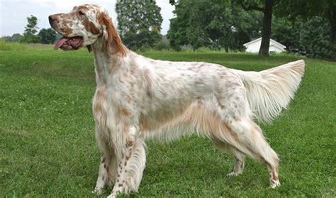 setter breed of dog english setter breed information
