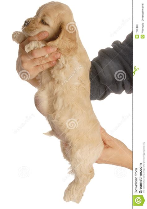 umbilical hernia in puppies with umbilical hernia stock photo image 7296400