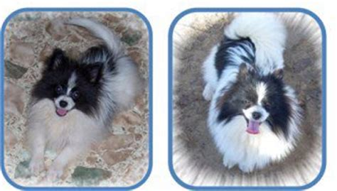pomeranian uglies before and after why does my pomeranian hair fur