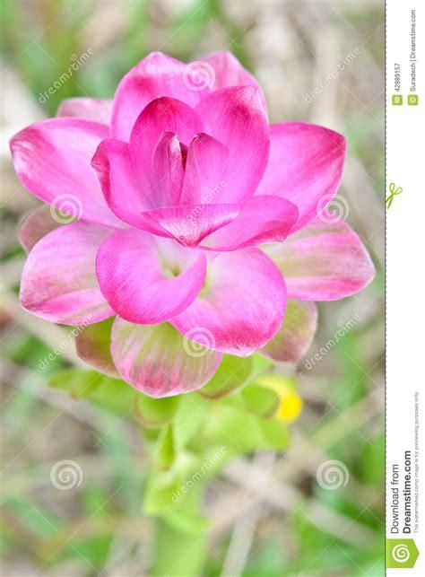 fiore curcuma fiore di curcuma fiori idea immagine