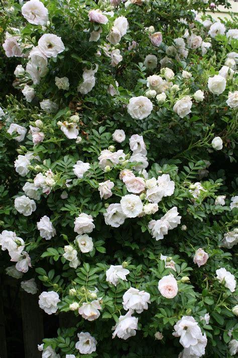 witte thee tuinen prachtig tuin garden pinterest tuin tuinieren en rozen