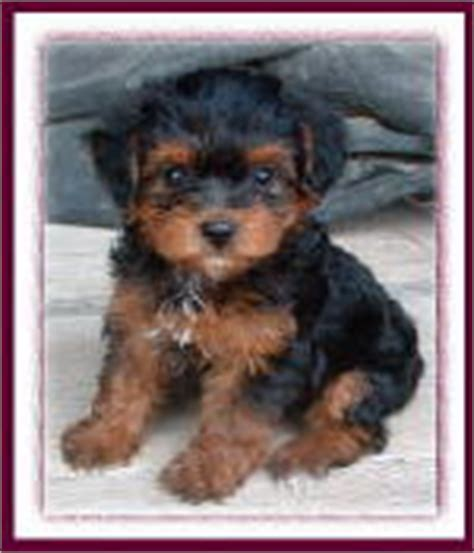 are yorkies for allergy sufferers yorkipoo yorkie poodle yorkiepoo puppies for sale iowa