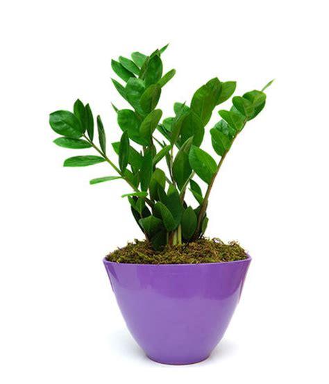 pianta da interno poca luce piante appartamento pendenti piante da appartamento