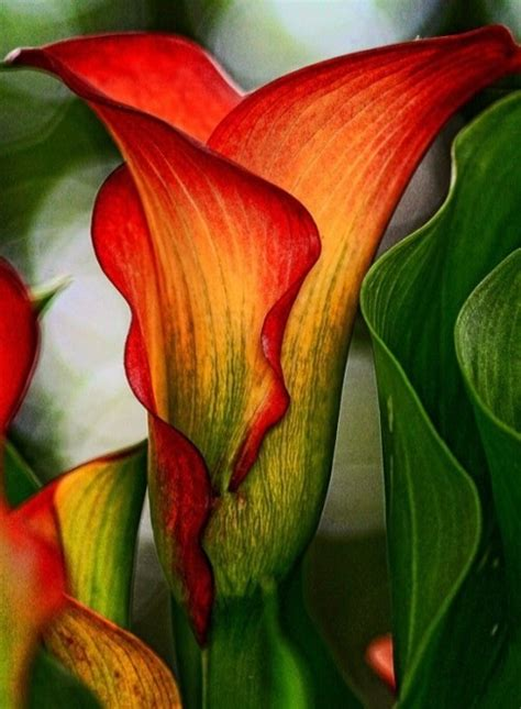 calla lilies colors 25 best ideas about calla colors on