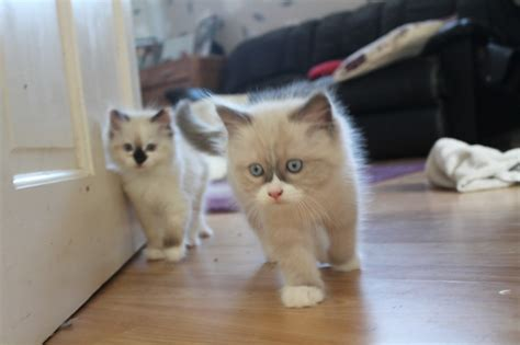 looking for cats and kittens for sale in chicago why not two ragdoll kittens looking for a forever home bath