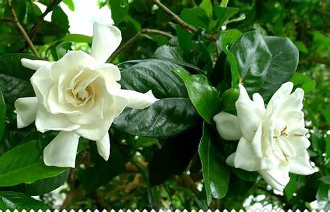 Gardenia And Gard 233 Nia Des Jardins Enfin Un Gard 233 Nia Qui R 233 Siste Au Froid