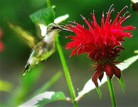 125 best monarda images on pinterest baby horses bee