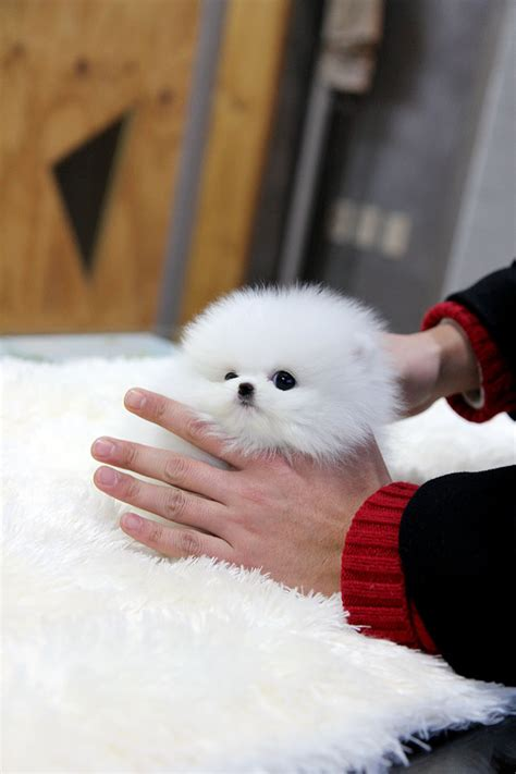 white teacup pomeranian for sale teacup puppy teacup puppy for sale white teacup pomeranian addel