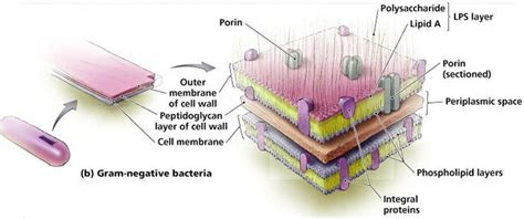microbiology  kakirde flashcards cell structure