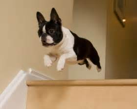 Backyard Door Lock by 18 Things All Boston Terrier Owners Must Never Forget
