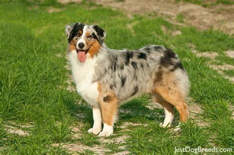 best food for australian shepherd puppy australian shepherd dogs breeds picture