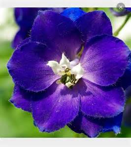 25 best ideas about larkspur flower on pinterest