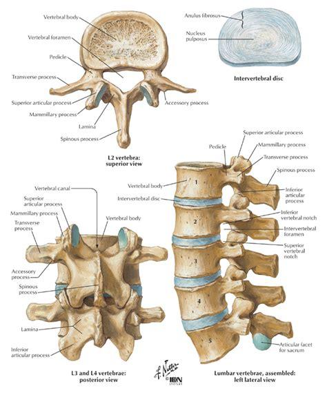 5 sections of vertebrae parts of the vertebra lumbar human skeletons anatomy