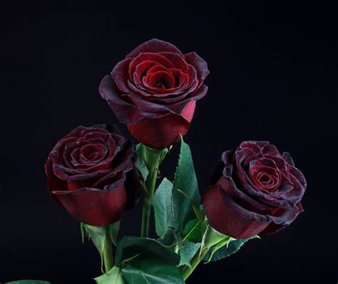 Led Lights For Vases Of Flowers Quot Black Baccara Quot Red Rose 20 Quot Long 100 Stems