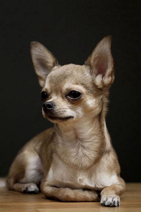 chihuahua puppies ohio best 25 chihuahua puppies ideas on chihuahua dogs chihuahuas and