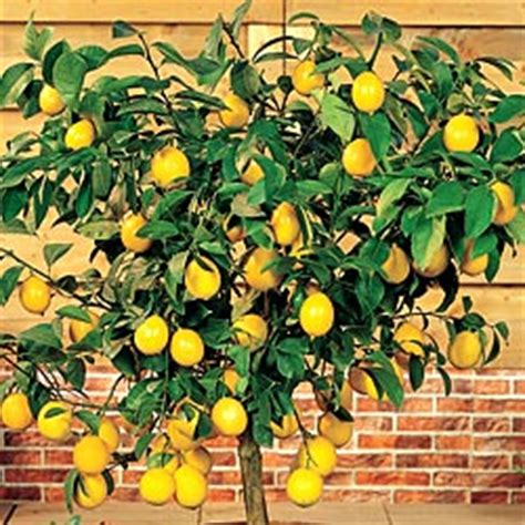 Mini Miniature 186 Yellow citrus as a patio plant the oak leaf