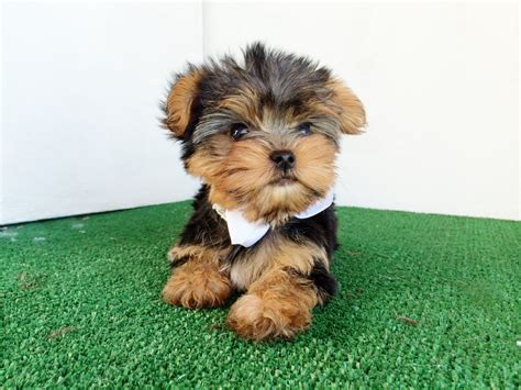 teacup yorkies for sale in san diego terrier puppies for sale san diego ca 269870