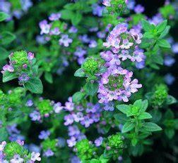 Lavender Borneo thyme ct borneol organic essential