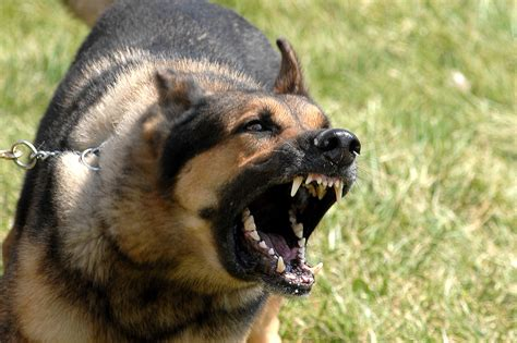 how to keep dog from barking file military dog barking jpg wikipedia