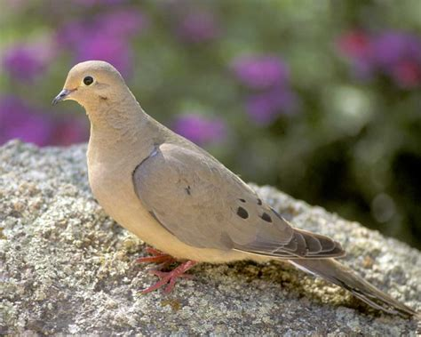 mourning dove audubon field guide
