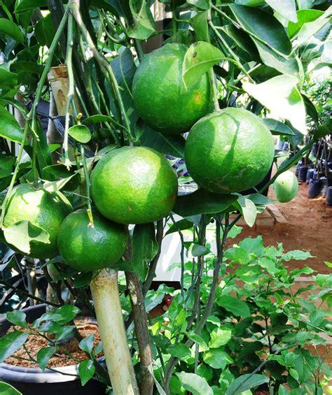 Pupuk Kompos Organik Cair 4 khasiat pupuk organik cair bebeja