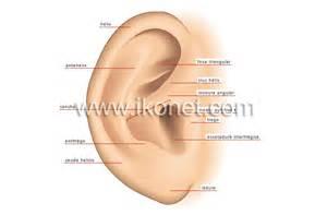 ser humano gt 243 rganos sensoriales gt o 237 do gt pabell 243 n