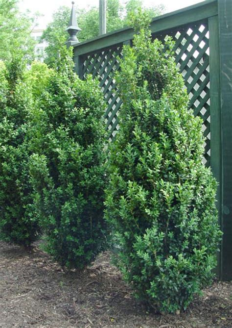 narrow flowering shrubs plants for narrow spaces preen