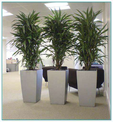 large house plants for sale large house plants for sale 28 images big house plants for sale 100 indoor plants