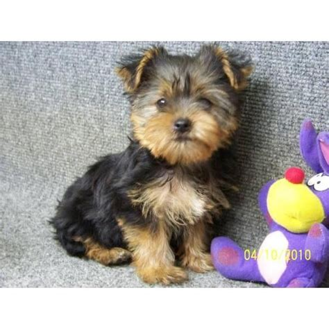 all types of yorkies 1000 images about x tremely animals on st bernards puppys and types