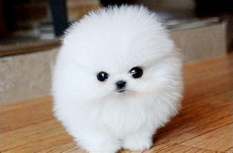 white pomeranian for adoption pomeranian puppies for adoption white puppy like a fluffy pictures of dogs