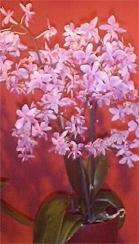 significato dei fiori orchidea orchidea linguaggio dei fiori orchidea linguaggio