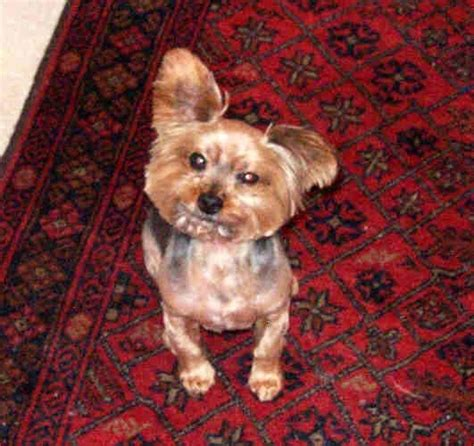 yorkie chewbacca 92 best images about great memories from childhood quot formative years quot on