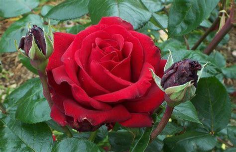 Mawar Merah Hati gambaran bunga dalam hidup gambar foto wallpaper