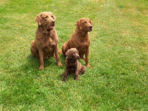 chesapeake retriever puppy chesapeake bay retriever puppy pictures car interior design