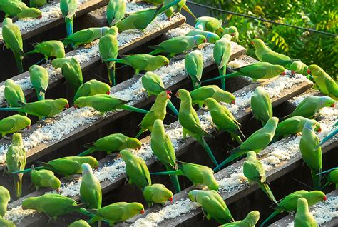 Sekar Yellow meet the quot indian birdman quot of chennai feeds up to 4 000