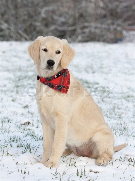 golden retriever in the snow golden retriever puppy in the snow stock photo colourbox