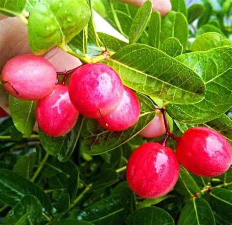 wallpaper bunga plum benih buah buahan fresh nature