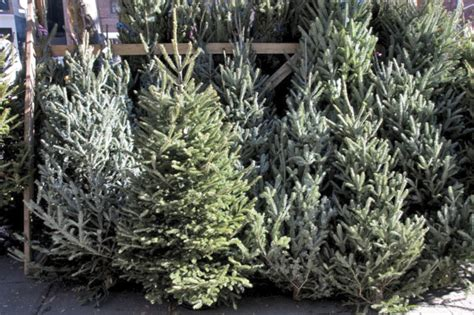 christmas trees u cut md trees risser marvel farm market 2425 horseshoe pike rt 322 annville pa 17003