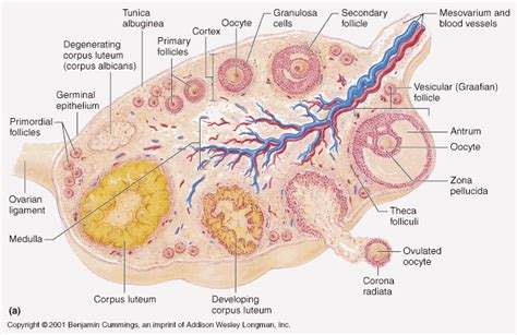 section of ovary female reproductive system