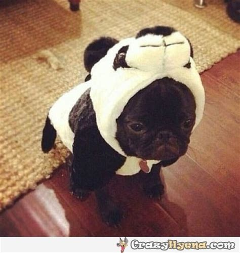 pug panda costume pug panda costume jpg 460 215 486 pug pug to find out and