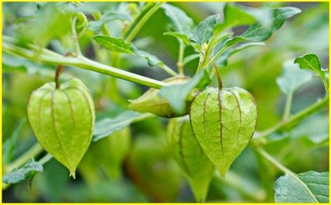 Jenis Dan Obat Tidur supernatural plants and restorative plants ambien tologuilla