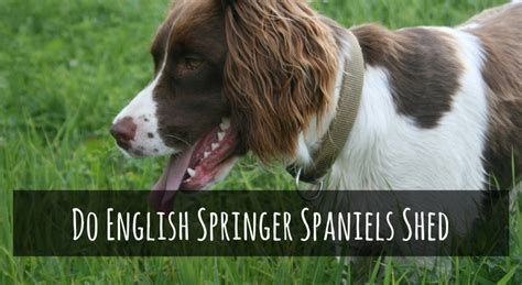 do springer spaniels shed their fur spanielking