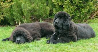 Dog breed directory newfoundland dog breed