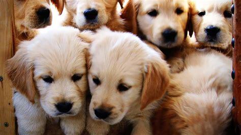 golden retriever puppies wallpaper free golden retriever puppy wallpaper wallpapersafari