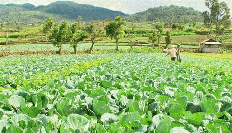 definisi pertanian  contoh pertanian manfaat pertanian