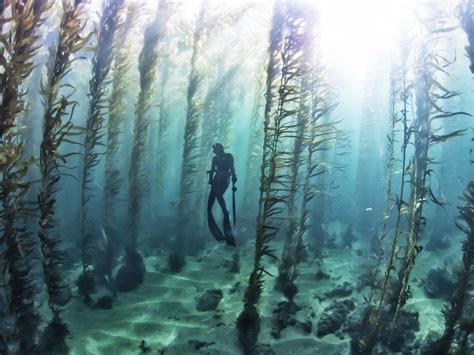 kelp beds free diving in a kelp forest kelp forest ocean and scenery