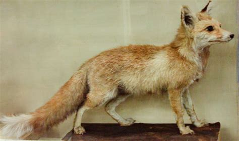 jumper rubah putih white footed fox wikidata