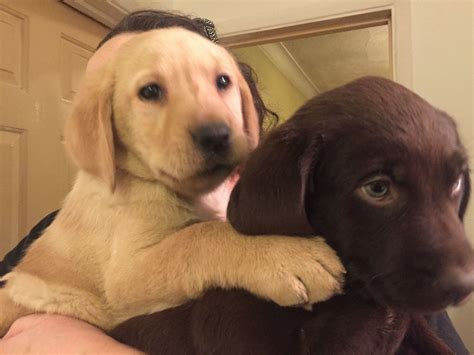 chocolate golden retriever puppies for sale chocolate golden labrador puppies reading berkshire pets4homes